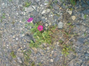 砕石駐車場に咲く花