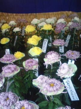 八戸市菊祭り始まる