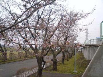 桜前線異常あり