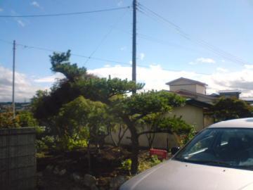 移植現場の木